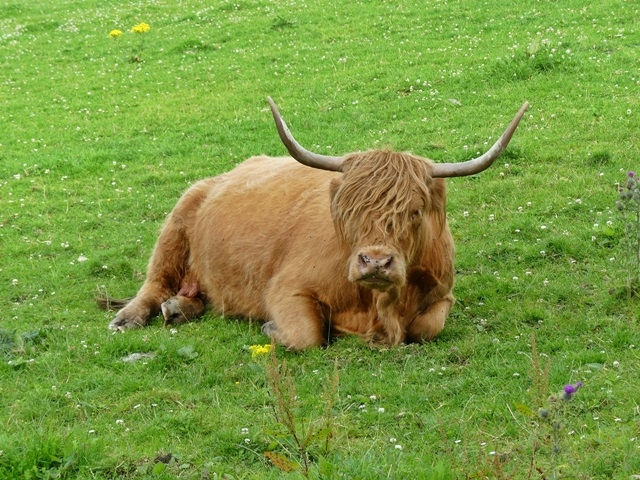 cattle-dufftown